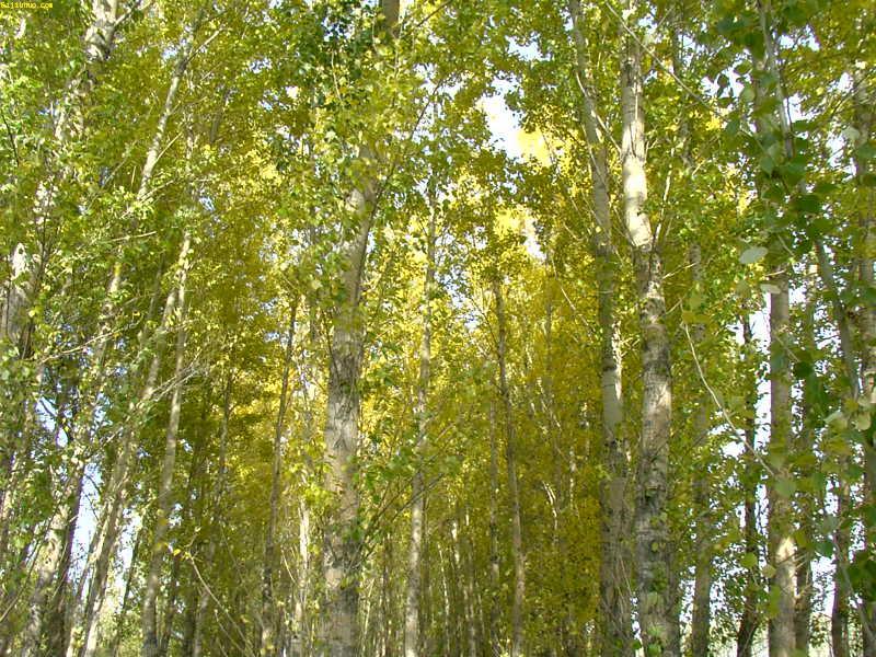 加拿大杨树手绘